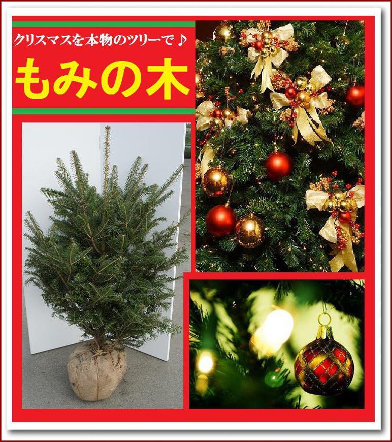 クリスマスツリー 本物 もみの木 100cm 本物志向の貴方へ♪シンボルツリーにも【モミノキ(ウラジロモミノキ) 樹高1.0m前後】