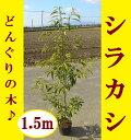【まとめ買いがお得!】どんぐりの木♪シンボルツリーや生垣におすすめ!【シラカシ 5本セット 樹高1.5m前後】