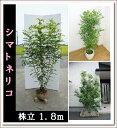【超特価!大好評の為、新サイズ入荷】大人気シンボルツリー!!【シマトネリコ 株立 樹高1.8m前後】