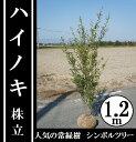 今、シンボルツリーに大人気の常緑樹!【ハイノキ 株立 樹高1.2m前後】