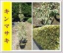 【まとめ買いがお得!】洋風ガーデンの生垣に♪【キンマサキ『5本セット』 樹高1.0m前後】