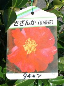 100cm レッド 生垣 庭木 花木【サザンカ(山茶花)赤花 樹高1.0m前後】