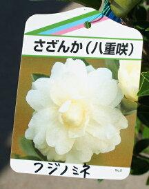 100cm ホワイト 生垣 庭木 花木【サザンカ(山茶花)白花 樹高1.0m前後】