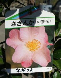 100cm ピンク 生垣 庭木 花木【サザンカ(山茶花)ピンク 樹高1.0m前後】