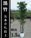 和風モダン、坪庭、シンボルツリーに大人気!【黒竹(5本立ち以上) 樹高1.5m前後】