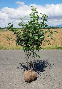 送料無料 120cm 人気果樹 収穫 シンボルツリー【ジューンベリー株立 樹高1.2m前後】