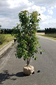 送料無料 本株立 150cm シンボルツリー【常緑ヤマボウシ(ホンコンエンシス)本株立 樹高1.5m前後】