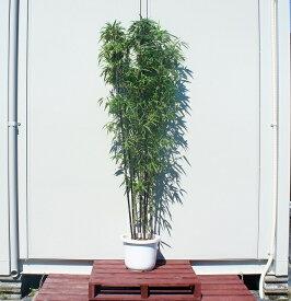 送料無料 150cm 和風モダン 坪庭 シンボルツリー 庭木 鉢付き 常緑樹 大型【黒竹(5本立ち以上) 樹高1.5m前後】