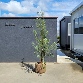 送料無料 120cm シンボルツリー 庭木 植木 常緑樹 収穫果樹 観葉植物 おしゃれ【オリーブ 樹高1.2m前後】