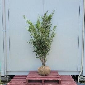 120cm シンボルツリー 庭木 常緑樹 植木【ハイノキ株立 樹高1.2m前後】