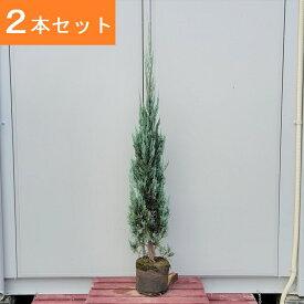 送料無料 150cm 2本セット シンボルツリー 生垣 庭木 洋風 常緑樹 大型【コニファー(ブルーエンジェル)『2本セット』樹高1.5m前後】