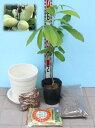 お任せポポー苗木栽培セット・マンゴー・NC-1・スウィートアリスから1品種(当店ベストセレクション・人気のポポー苗3…