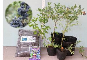 [暖地向ブルーベリー入門すべて揃ってます]ティフブルー+パウダーブルー2品種ブルーベリー苗木栽培6点セット[挿し木3年生苗直径13.5cmポット樹高約50cm前後苗2本+専用栽培土10L+直径21cmポ