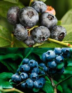 チャンドラー&ブルークロップ世界最大ハイブッシュブルーベリー苗木栽培6点セット[挿し木3年生苗13.5cmポット樹高約50cm]+栽培に必要なセットすべて揃ってます!■送料無料■ブルーベリ