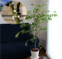 【幹に実と花が成る不思議な観葉植物】四季成りジャボチカバ栽培5点セット[6年生樹高約70cm:15cmポット四季成りジャ…