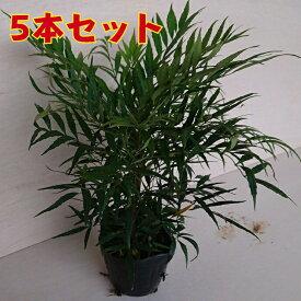マホニアコンフューサ(5本セット) 細葉柊南天高さ30前後 植木