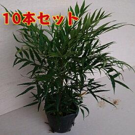 マホニアコンフューサ(10本セット) 細葉柊南天高さ30前後 植木