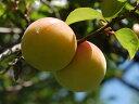 紀州 和歌山 南高梅 青梅 5キロ 梅酒や柔らかい梅干しがお好きなお客様に最適です。