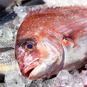 天然 鯛(たい)1尾(1kg前後サイズ)(国産) 冷蔵便 下処理可(三枚おろしor内蔵・エラ・ウロコ取り) [ 鮮魚 タイ 刺身 ]