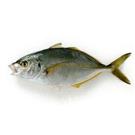 養殖 シマアジ1尾(1-1.3kg前後サイズ)(国産) 冷蔵便 下処理可(三枚おろしor内蔵・エラ・ウロコ取り) [ 鮮魚 あじ 鯵 刺身 ]