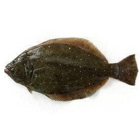 天然 ヒラメ1尾(1-1.5kg前後サイズ)(国産) 冷蔵便 下処理可(三枚おろしor内蔵・エラ・ウロコ取り) [ 鮮魚 ひらめ 平目 刺身 ]