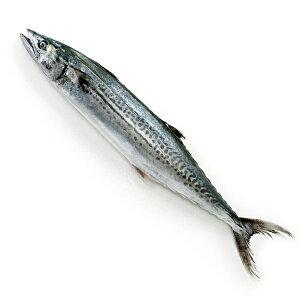 天然 さわら1尾(2-3kg前後サイズ)(国産) 冷蔵便 下処理可(三枚おろしor内蔵・エラ・ウロコ取り) [ 鮮魚 サワラ 鰆 刺身 ]