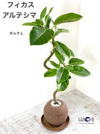【 フィカス アルテシマ 】水やりは1週間に1回。園芸資材初!水を溜め込む鉢アクアプラントポットでいつも植物が元気♪ 鉢植え 観葉植物 おしゃれ かわいい 誕生日 プレゼント 新築祝 結婚祝 開店祝 ゴムの木 アルテシーマ お祝い 玉(ギョク)L