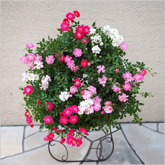 (送料無料) ウェルカムローズ ミニ薔薇の寄せ植え リース仕立て / ミニバラ・鉢植え・母の日・ギフト・プレゼント・鉢植え