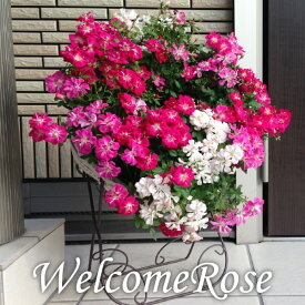 (送料無料) ウェルカムローズ ミニ薔薇の寄せ植え リース仕立て / ミニバラ ミニ薔薇 鉢植え 母の日 ギフト プレゼント 鉢植え 早割 花