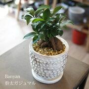 (送料無料)ガジュマル陶器鉢アレンジ/観葉植物・ニンジンガジュマル・おしゃれ