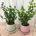 (送料無料) 現品発送 選べるこだわりの植木鉢! くるくるカールのフィカス・バロック 4号 / おしゃれ・観葉植物・ベン…