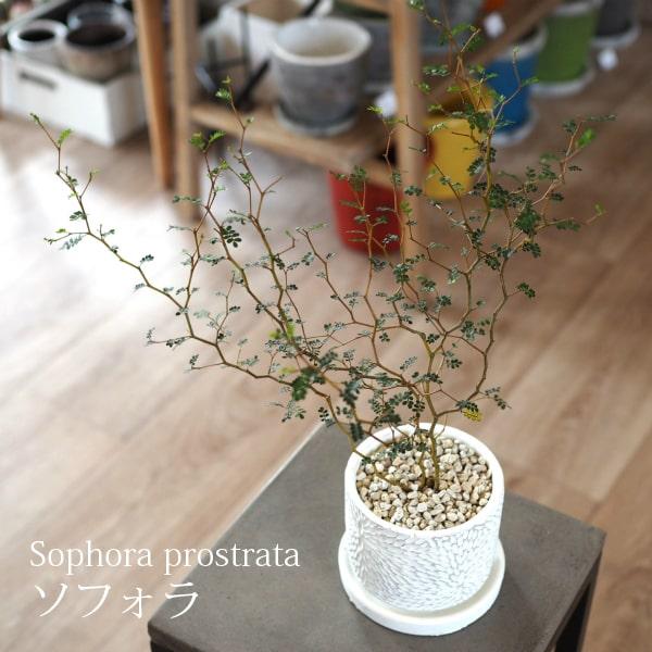 【送料無料】ソフォラ リトルベイビー 4号 選べるこだわりの植木鉢! / 観葉植物・おしゃれ・陶器鉢・インテリア