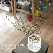 (送料無料)選べるこだわりの植木鉢!ソフォラリトルベイビー陶器鉢アレンジ4号/観葉植物・おしゃれ