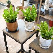 (送料無料)選べるこだわりの植木鉢!アスプレニウムエメラルドウェーブ4号/観葉植物・タニワタリ・おしゃれ・クリスピーウェーブ