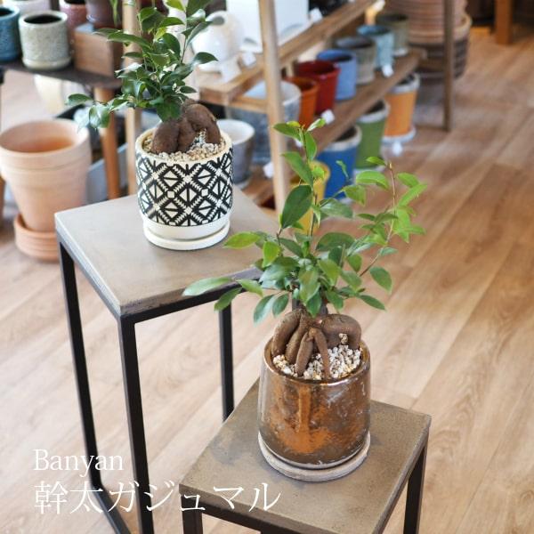 (送料無料) ガジュマル 幹太タイプ 5号 6種類から選べるこだわりの植木鉢! / 観葉植物・ニンジンガジュマル・おしゃれ・ミニ・卓上