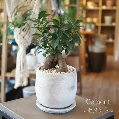 (送料無料)ガジュマル幹太タイプ5号選べるこだわりの植木鉢!/観葉植物・ニンジンガジュマル・おしゃれ・ミニ・卓上