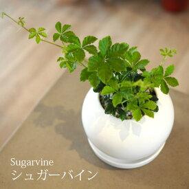 一部地域送料無料 シュガーバイン 4号 選べる植木鉢 / 観葉植物 おしゃれ インテリア ミニ 卓上 陶器鉢 プレゼント
