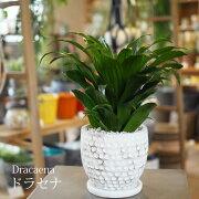 【一部地域送料無料】3種類から選べるドラセナ4号/観葉植物・おしゃれ・インテリア・ミニ・卓上