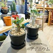 選べる品種アデニウムアラビカムソコトラナム3号(10cm)