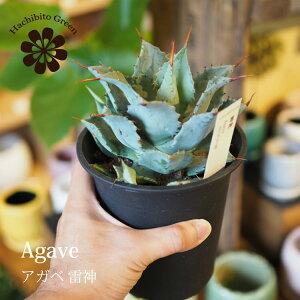 (一部地域送料無料) 一部地域送料無料 アガベ 雷神 4号 / おしゃれな植木鉢・観葉植物