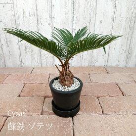 【数量限定】一部地域送料無料 ミニソテツ 3.5号 / おしゃれな植木鉢・観葉植物・黒ポット・蘇鉄
