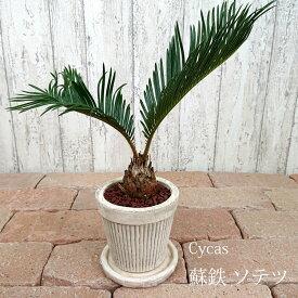 【数量限定】一部地域送料無料 ミニソテツ 3.5号 / おしゃれな植木鉢・観葉植物・アンティークポット・蘇鉄
