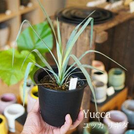 【数量限定】一部地域送料無料 ユッカ リギダ 4号 / おしゃれな植木鉢・観葉植物・ロストラータ近縁種