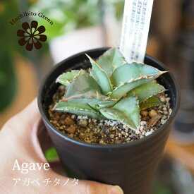 【数量限定】一部地域送料無料 アガベ チタノタ 3号 / おしゃれな植木鉢・観葉植物