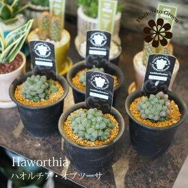 (一部地域送料無料) ハオルチア オブツーサ 多粒 3号(9.3cm) / ハオルシア・多肉植物・観葉植物 【複数購入割引対象】