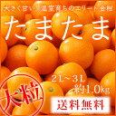 【送料無料】 (光センサー・糖度16度以上) 宮崎県産 完熟きんかん 『たまたま』 大粒 2L〜3Lサイズ (約1.0kg) 化粧箱…