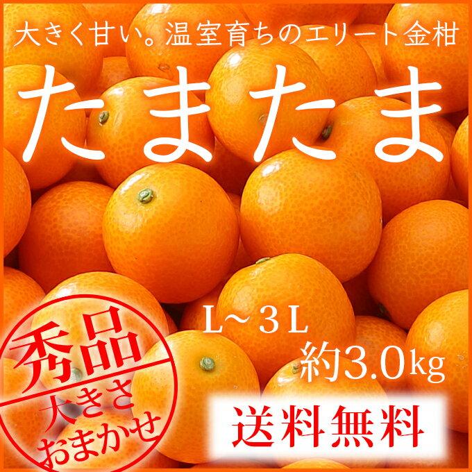 【送料無料】 (光センサー・糖度16度以上) 宮崎県産 完熟きんかん 『たまたま』 秀品 大きさおまかせ 3L〜Lサイズ (約3.0kg) 箱入り 贈り物 ギフト 【1月下旬より発送】