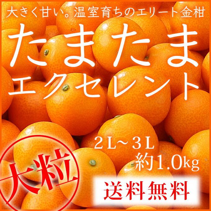 (光センサー・糖度18度以上)  宮崎県産 完熟きんかん 『たまたまエクセレント』 大粒2L〜3Lサイズ (約1.0kg) 化粧箱入り 贈り物 ギフト 【2月上旬より発送】