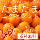 (光センサー・糖度18度以上)  宮崎県産 完熟きんかん 『たまたまエクセレント』 大粒2L〜3Lサイズ (約1.0kg) 化粧箱…
