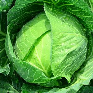 キャベツ 1玉【お取り寄せ野菜...